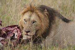Lion masculin à la mise à mort Image stock