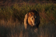 Lion masculin Images stock
