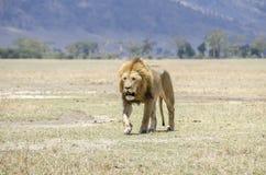 Lion masculin Photos libres de droits