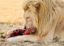 Lion masculin Images libres de droits