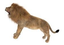 Lion masculin Image libre de droits