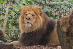 Lion masculin Photo stock