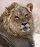 Lion masculin Image stock