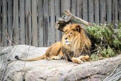 Lion masculin au repos Photographie stock libre de droits