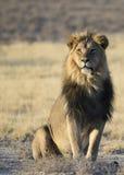 Lion masculin avec le contact visuel Images stock