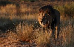 Lion masculin avec les yeux ensoleillés Photos libres de droits