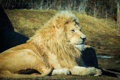 Lion masculin blanc détendant un jour chaud dans le domaine Photographie stock libre de droits