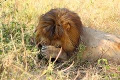 Lion masculin contrarié par des mouches Images stock