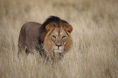 Lion masculin d'isolement dans l'herbe Photos stock