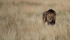 Lion masculin dans l'herbe Photos libres de droits