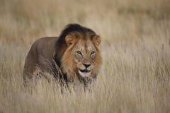 Lion masculin dans l'herbe Images libres de droits