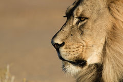 Lion masculin de Kalahari Images stock