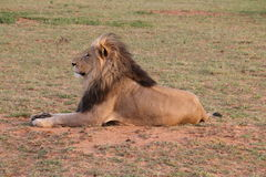 Lion masculin DJE Photographie stock