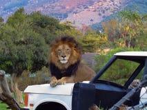 Lion masculin posant pour son portrait image stock