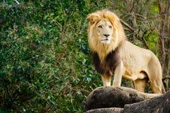 Lion masculin regardant placé sur l'affleurement Photo stock