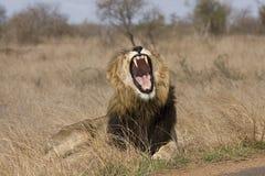 Lion masculin sauvage, parc national de Kruger, Afrique du Sud photos libres de droits