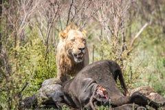 Lion masculin sur une mise à mort de Buffalo Photo stock