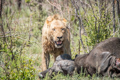 Lion masculin sur une mise à mort de Buffalo Image stock