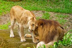 Lion mating Royalty Free Stock Photography