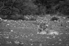 A Lion mating couple laying in the grass. A Lion mating couple laying in the grass in black and white in the Etosha National Park, Namibia stock photos