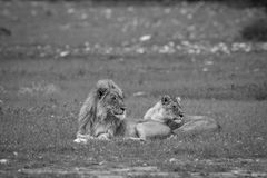 A Lion mating couple laying in the grass. A Lion mating couple laying in the grass in black and white in the Etosha National Park, Namibia royalty free stock photography