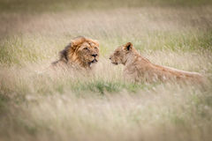 Lion mating couple laying in the high grass. Stock Images
