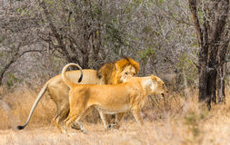 Lion mating pair Royalty Free Stock Photography