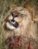 Lion with meal. Lion eating it's prey Stock Photography