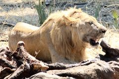 Lion with a meal Royalty Free Stock Photos