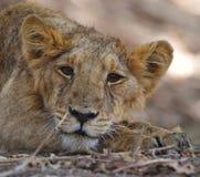 Lion mignon Image libre de droits