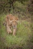 lion mignon d'animal Photo stock