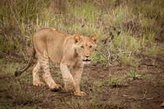 lion mignon d'animal Photographie stock libre de droits