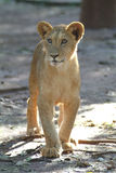 lion mignon d'animal Photos libres de droits
