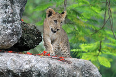 lion mignon d'animal Photo libre de droits