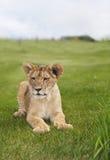 lion mignon d'animal Photographie stock libre de droits