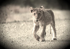 lion mignon d'animal Photographie stock