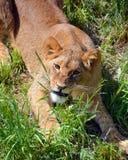 lion mignon d'animal Photos stock