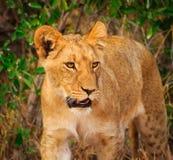 lion mignon d'animal Photo stock