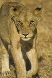 Lion in Mikumi National Park, Tanzania. Walking lion in Mikumi National Park, Tanzania Royalty Free Stock Photos