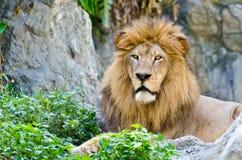 Lion mâle Photographie stock