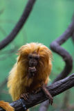 Lion Monkey Stockfoto