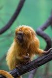 Lion Monkey Lizenzfreie Stockbilder