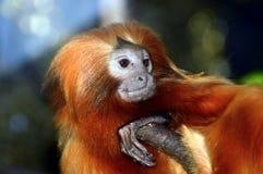 Lion Monkey Royaltyfria Foton