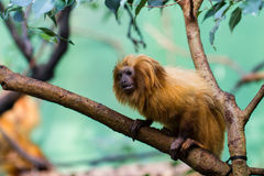 Lion monkey Stock Image