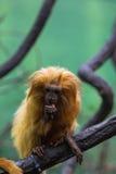 Lion monkey Stock Photo