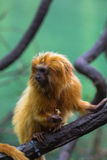 Lion monkey Royalty Free Stock Images