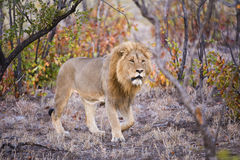Lion in Mopani Woodland Royalty Free Stock Images