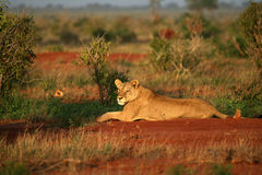 Lion in the morning sun. Tsavo East National Park kenya stock image