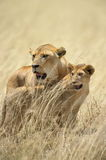 Lion mother and cub. A lion family staying close Stock Image