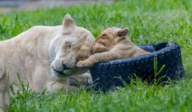 Lion mother and cub playing togehter in a zoo royalty free stock photography